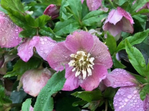 Lenten rose hellebores flower