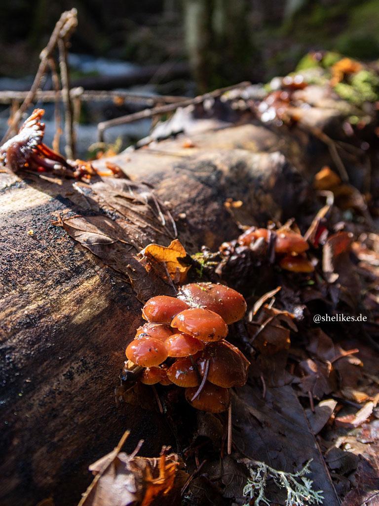 Pilze auf einem Baumstamm - Aufnahme mit dem Macro-Objektiv.