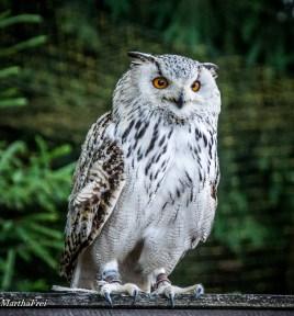 Schnee-Eule Hedwig