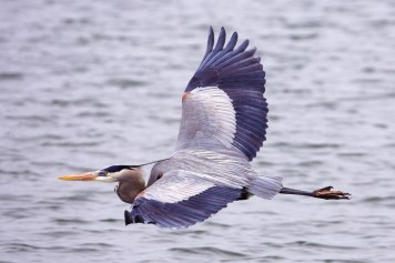 Great_blue_heron_-_natures_pics