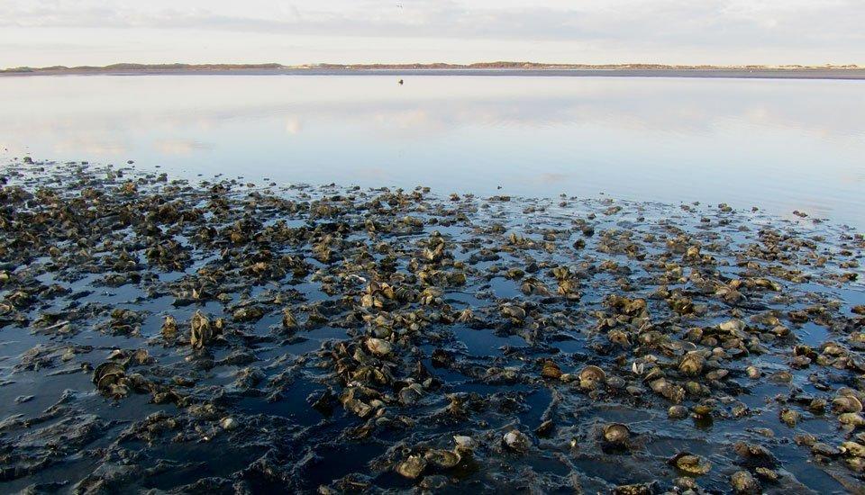 Oyster Season at Calves Pasture, Barnstable