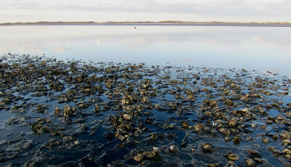 Oyster Season at Calves Pasture, Barnstable