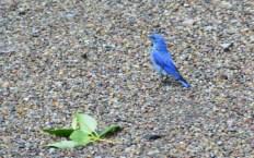 Animal blue bird