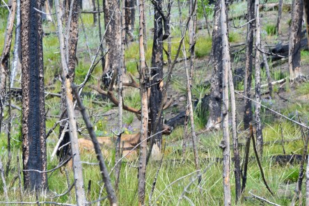 animal elk