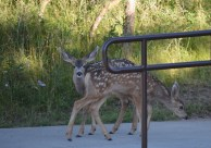 Black Canyon pair of fawns