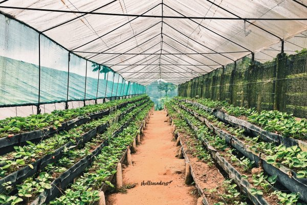 Sergio's Strawberry Farm in Cebu : 500PHP Budget Travel Guide