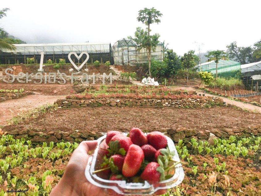 strawberry at sergio's farm