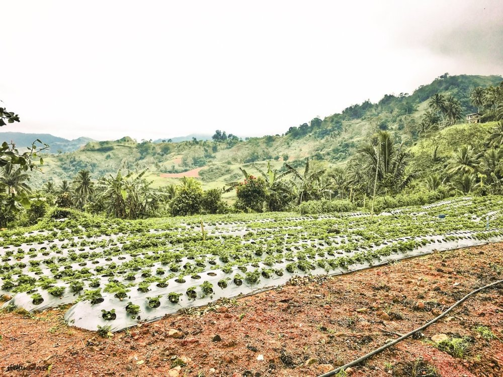 SERGIO'S STRAWBERRY FARM DALAGUETE CEBU