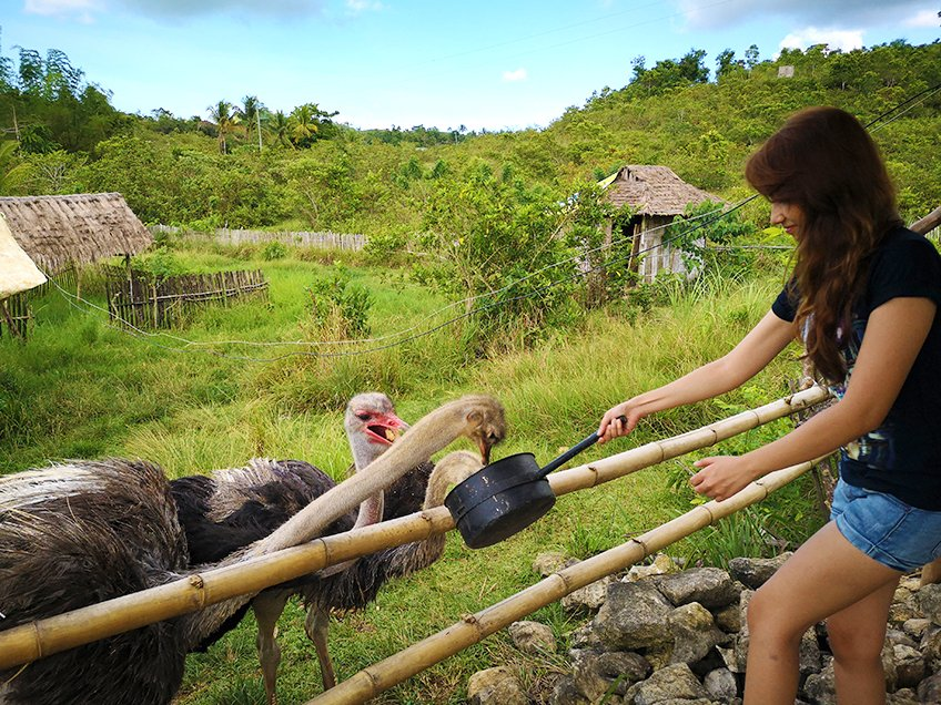 Feeding Mady and Max, the Ostriches