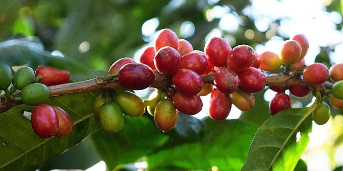 healthiest-organic-coffee