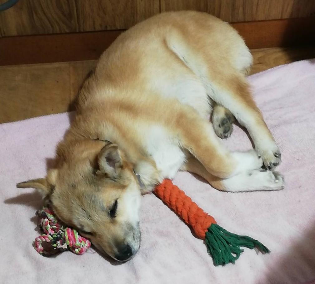 岡山保護犬あおの1日大好き人参とすごい寝相