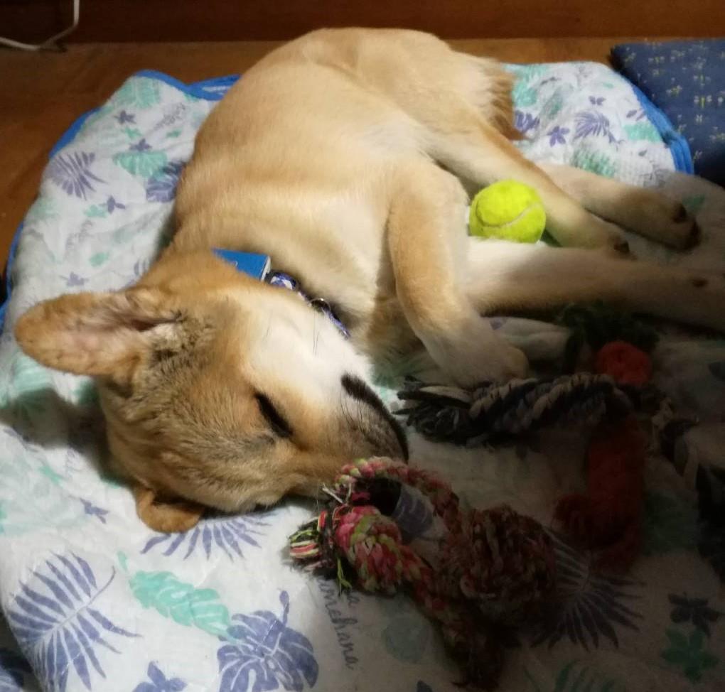岡山保護犬あおの一日、新しいシーツ
