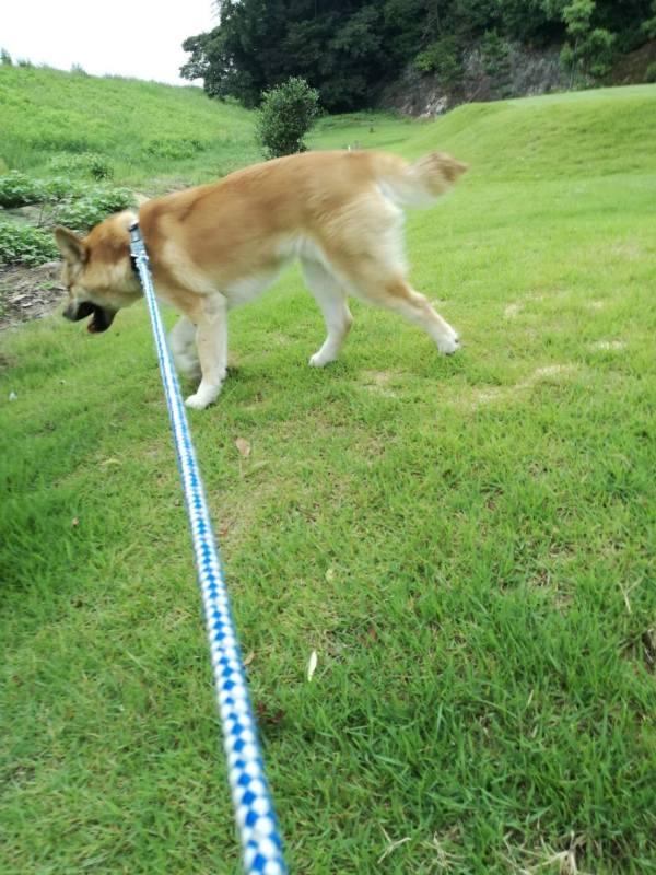 岡山保護犬あおの一日、ゴルフ場にて