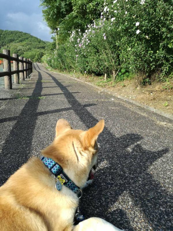 岡山保護犬あおの一日、散歩コースは花がいっぱい