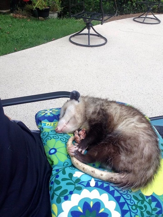 Sheri's boy, Opie, is a hit at  opossum rescue training classes.
