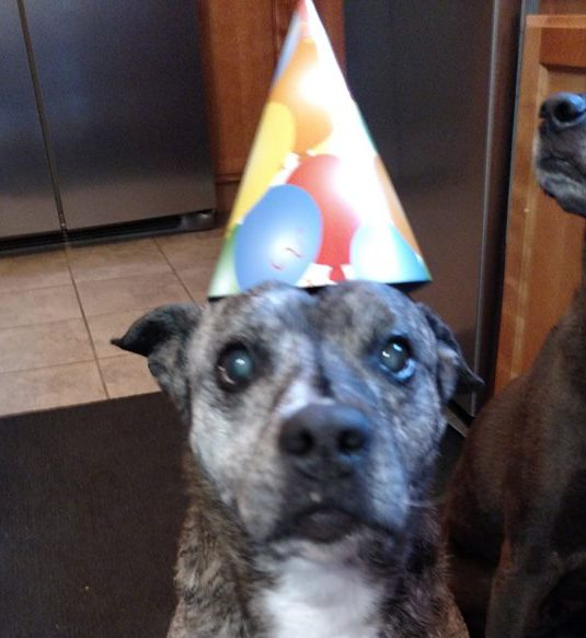 Pit Bull Who Spent 11 Years In Shelter Just Celebrated Her First Anniversary In A Wonderful Home