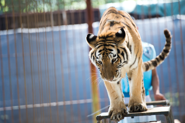 Three More Countries Ban Wild Animals In Circuses