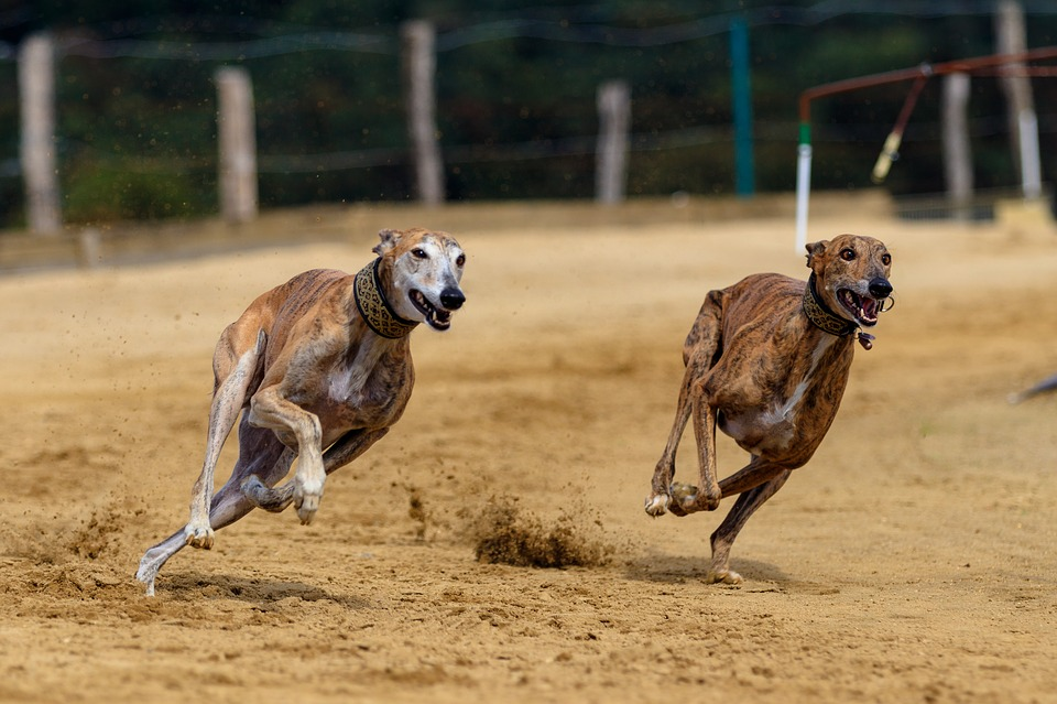 Florida Votes To End Greyhound Racing – New Homes Will Be Needed For Dogs
