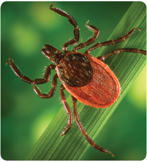 Lyme Epidemic Clock is Tick-Tick-Ticking