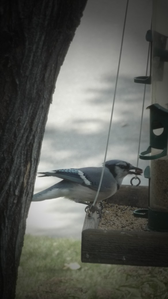 Blue Jay at my Feeder Photo Credit: Kathleen Moors