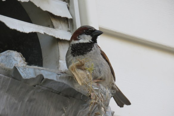 Kath's Canon Male Sparrow Emptying Nest July 7 2015 005