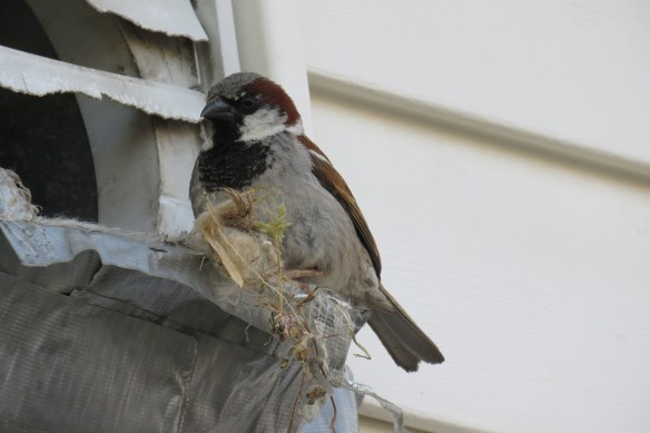 Kath's Canon Male Sparrow Emptying Nest July 7 2015 006