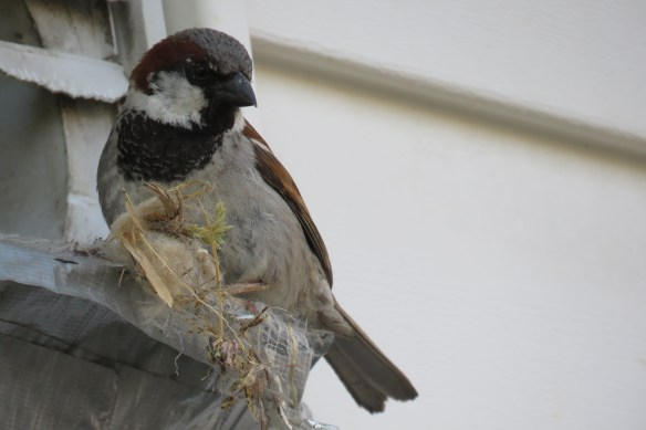 Kath's Canon Male Sparrow Emptying Nest July 7 2015 007