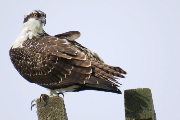 Kath's Canon August 29, 2015 Osprey, Hawk, Kingfisher 036