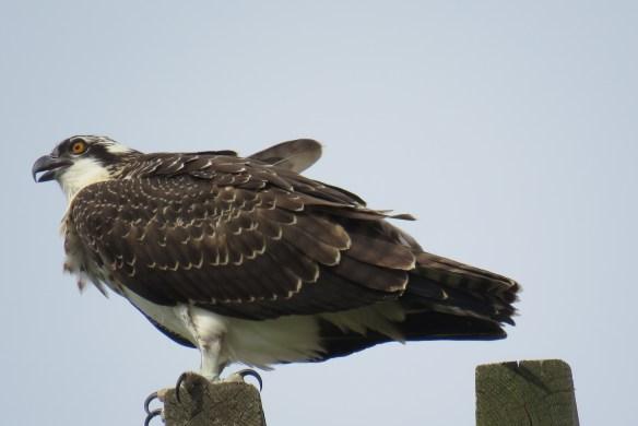 Kath's Canon August 29, 2015 Osprey, Hawk, Kingfisher 042