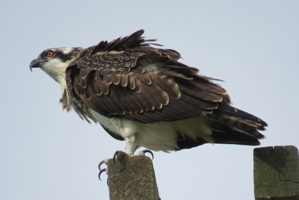 Kath's Canon August 29, 2015 Osprey, Hawk, Kingfisher 046