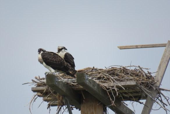 Kath's Canon August 29, 2015 Osprey, Hawk, Kingfisher 048