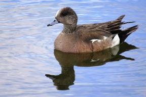 Facebook 1 American Widgeon Drake Male