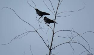 Facebook 45 Crows