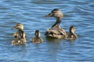 Facebook 9 babie Mallards