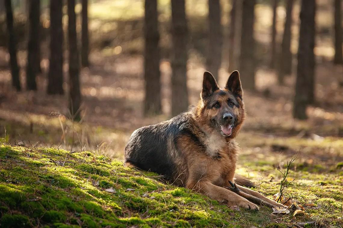 The Best German Shepherd Blog