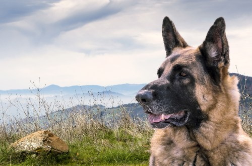 Things To Know About German Shepherds
