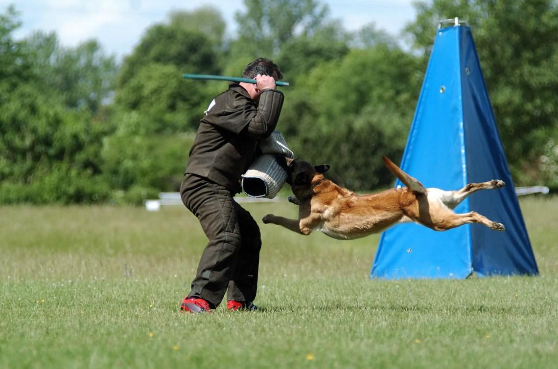 German Shepherd Schutzhund Training