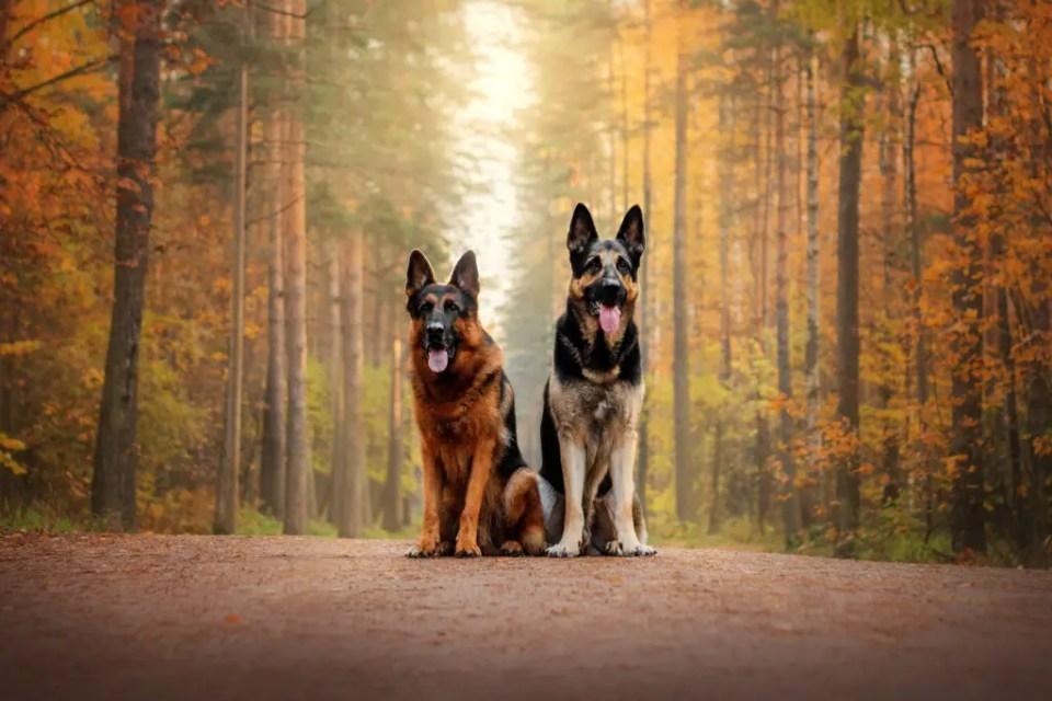 German Shepherds About Us
