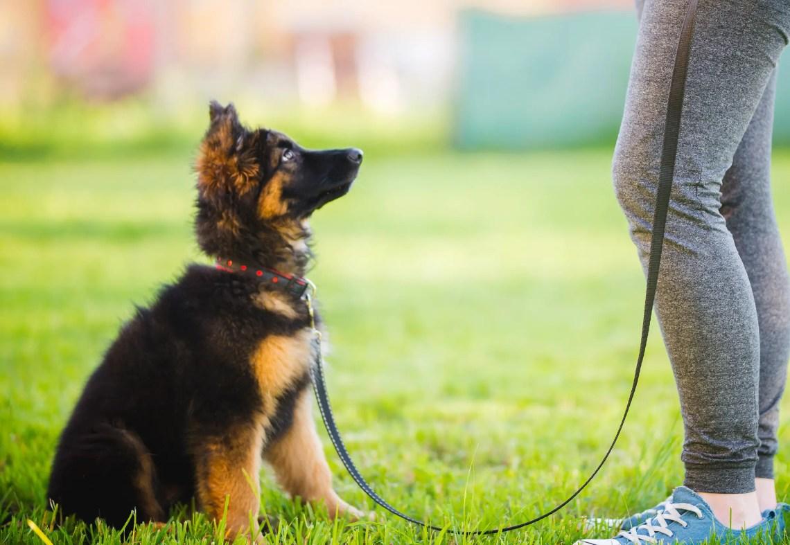 Training German Shepherd Puppy