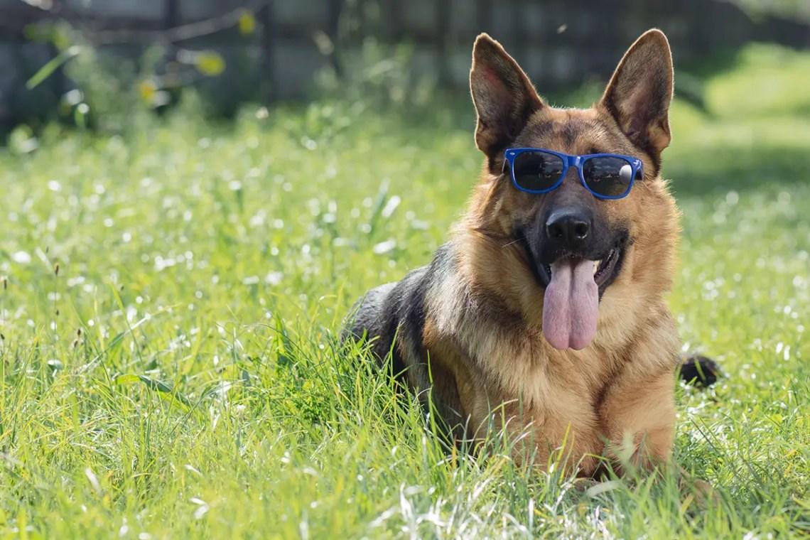 1 Year Old German Shepherd Behavior