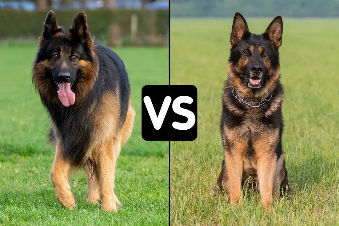 Difference Between King Shepherd And German Shepherd VS