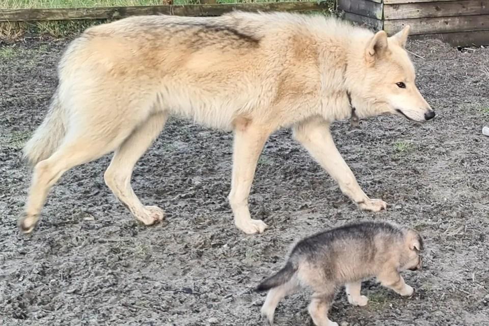 Most Wolf Like Dog The British Lupine