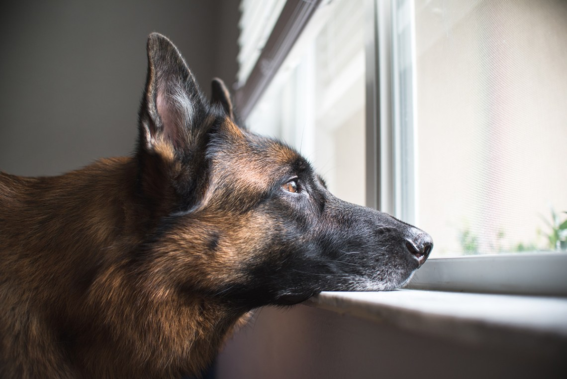 Can German Shepherds Be Left Alone