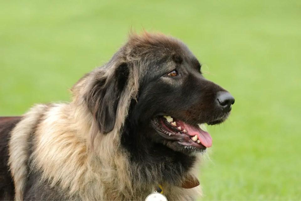 Caucasian Shepherd Dog Head