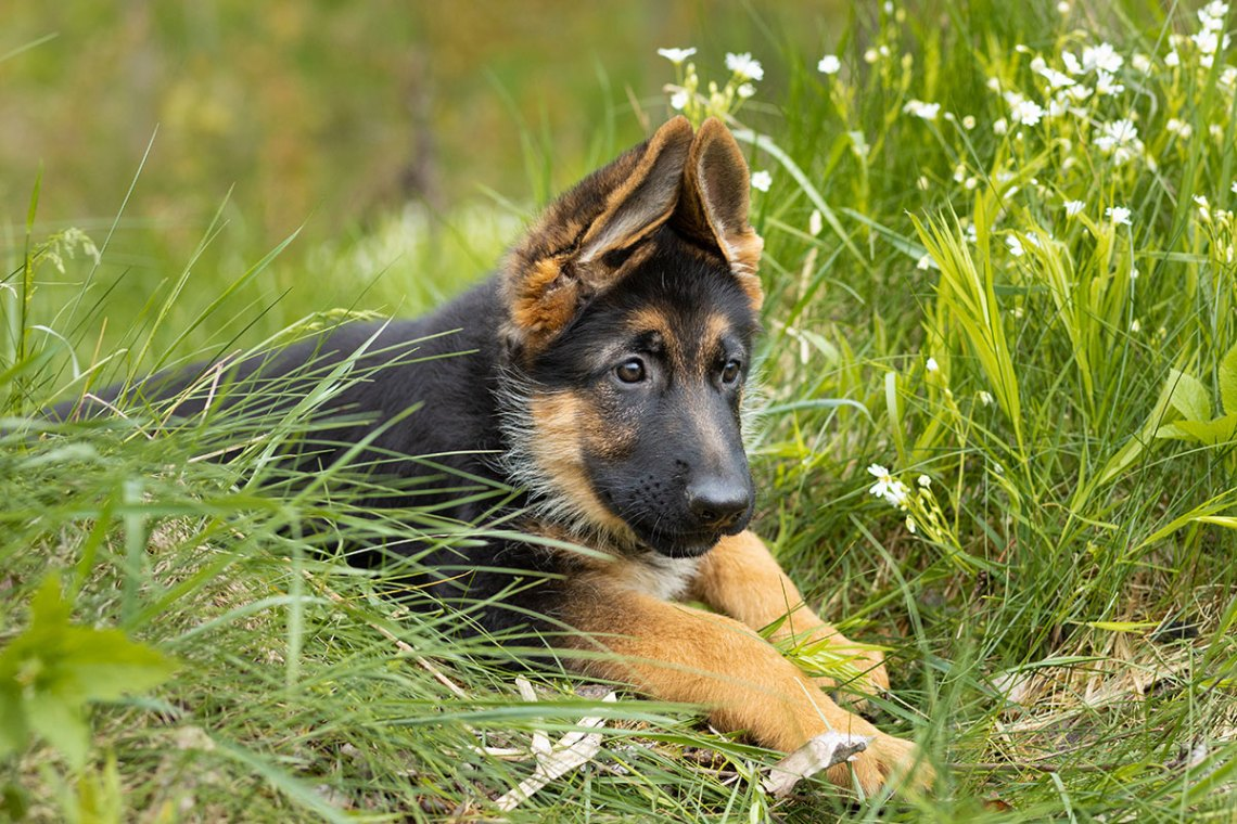 When Do German Shepherds Ears Stand Up