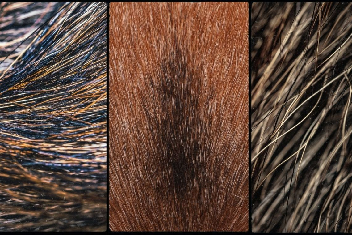 German Shepherd Coat Types and Colors Chart