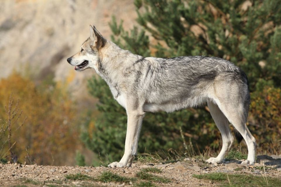 Saarloos Wolf Dog Mix