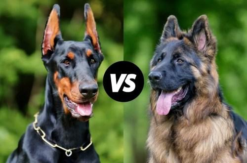Doberman vs German Shepherd