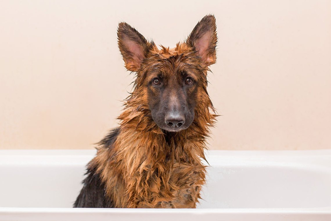 Best German Shepherd Shampoo
