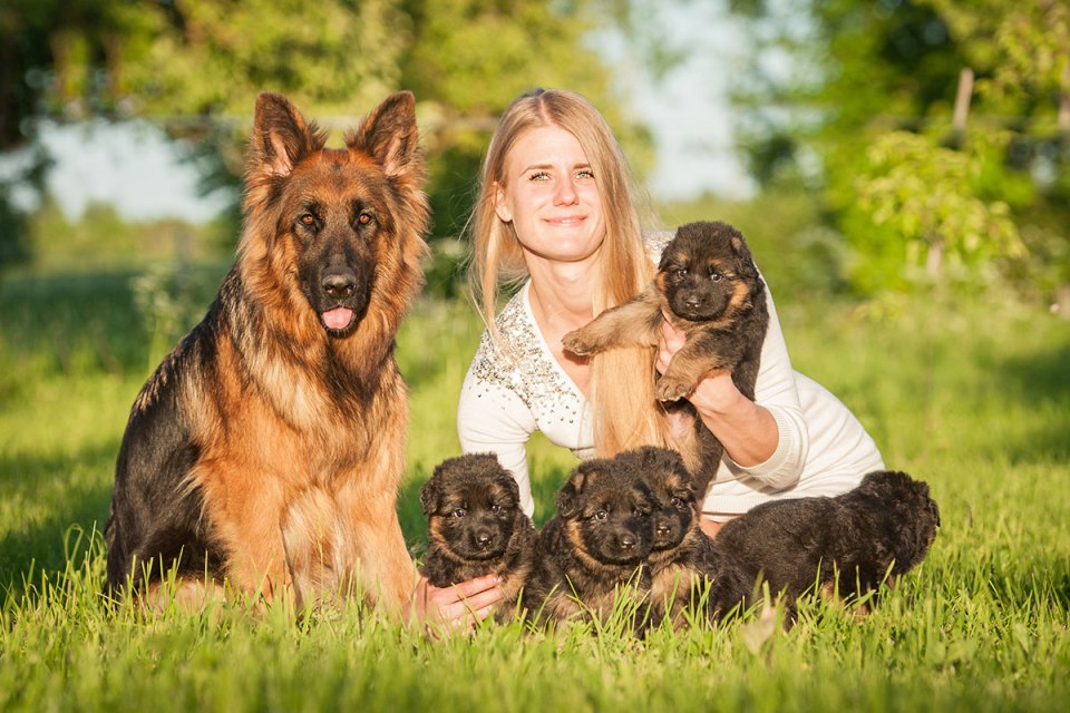 GSD Offspring With Blonde Woman
